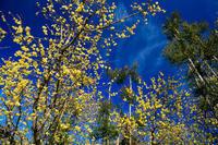 富田邸の蝋梅(城陽市) - 花景色-K.W.C. PhotoBlog