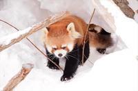 母と娘の冬模様・その2 - レッサーパンダ☆もふてく放浪記