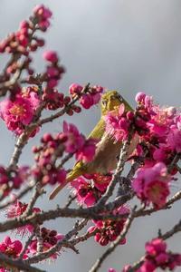 梅メジロ - あだっちゃんの花鳥風月