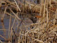 手賀沼の南岸で探鳥(クイナ、ホオジロ、オオジュリン、バン、ジョウビタキ、幻覚かな?) - 花と葉っぱ