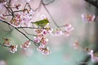 目白 【メジロと寒桜】 #6 - kawanori-photo