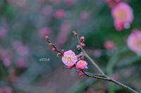目からうろこ!撮影テクニック&プリントアドバイス 梅の枝。 - Yuruyuru Photograph