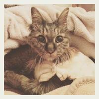 22才 ご長寿猫 はんぞう との暮らし 「1月26日~1月31日の はんぞう」 - たびねこ