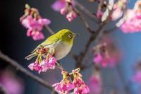 我が家の寒緋桜とメジロ - あだっちゃんの花鳥風月