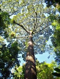 セラヤの木(ラワン) - ボルネオ島・コタキナバル 旅が好き、笑顔が好き