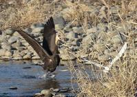 初見初撮りのナベヅル - 写真で綴る野鳥ごよみ