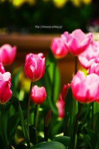 春待ち侘びて・・・ - ショーオヤジのひとり言