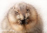 オグロプレーリードッグ:Black-tailed Prairie Dog - 動物園の住人たち写真展