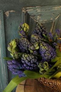 お誕生日の花束 ヒヤシンスだけで - 北赤羽花屋ソレイユの日々の花