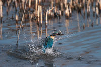魚が見つからず - 野鳥と自然