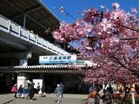 三浦海岸の河津桜 - 黄色い電車に乗せて…