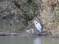 青鷺 ~Grey heron~ - 万願寺通信