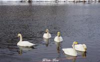 1月の白鳥 - White Love