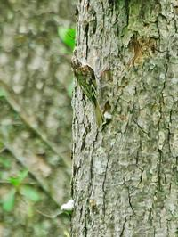 キバシリ - 出会った野鳥たち