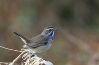 日帰り長距離遠征 オガワコマドリ - 野鳥公園