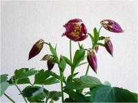 オダマキの花が咲いた - mamiノート