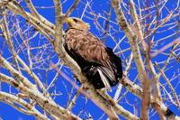 隣町でオジロワシほか - 今日の鳥さんⅡ