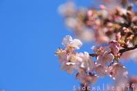 河津桜に誘われて - のんびり行こうよ人生!