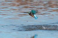 カワセミ - 野鳥と自然