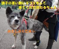 マーベラスさんの譲渡会に参加しました♪(その2:応援に来てくれた秋田犬) - もももの部屋(家族を待っている保護犬たちと我家の愛犬のブログです)