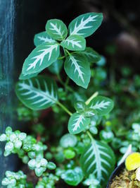 ルエリア・マコヤナ #3 - Blog: Living Tropically