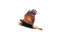 チュウヒ - 四季の探鳥