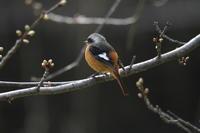 ジョウビタキ♂ - 四季の探鳥