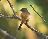 ジョウビタキ♀ - 四季の探鳥
