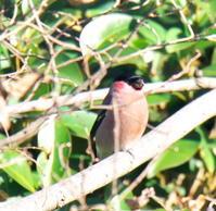 ウソ - 四季の探鳥