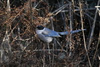 オナガ - 四季の探鳥
