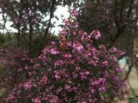 エリカの花 - 「今日の一枚」