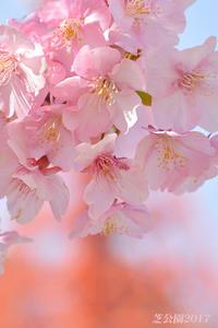 満開の桜 背景は これ! - 写愛館