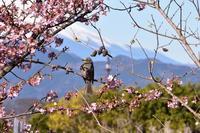 ヒヨドリと富士 - 風とこだま