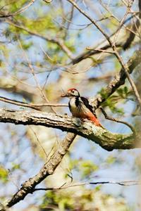 オオアカゲラ - 出会った野鳥たち