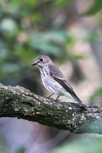 エゾビタキ - 出会った野鳥たち