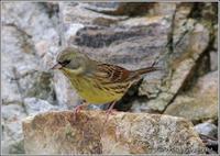 岩の上のアオジ - 野鳥の素顔 <野鳥と・・・他、日々の出来事>