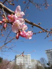 河津桜 - ichibey日々の記録
