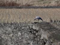 午後からは・・・アネハヅル② - 鳥見んGOO!(とりみんぐー!)野鳥との出逢い
