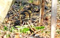 トラちゃん - ずっこけ鳥撮り日記