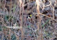 冠羽 ミヤマホオジロ(深山頬白) - azure 自然散策 ~自然・季節・野鳥~
