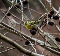 採餌中のマヒワに出会う・・・ - 一期一会の野鳥たち