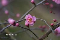 しだれ梅は三分咲き。 - Season of petal