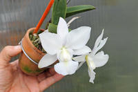 C.walkeriana albescens ('Full' × 'Poliahu') - ラブ蘭ソフロ