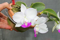 C.walkeriana f. perola - ラブ蘭ソフロ