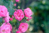 ローズレッスン開催のお知らせ  - 薔薇のガーデナー Weekend's+Ladybirds