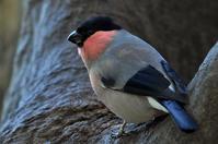 ウソ - Bird Focus2