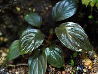 ホマロメナ属の1種(Mt. ベサール産) #2 - Blog: Living Tropically
