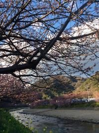 河津桜 - しらたまにゃん