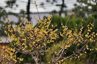 住吉川公園の蝋梅 - たんぶーらんの戯言