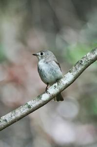 コサメビタキ - 出会った野鳥たち
